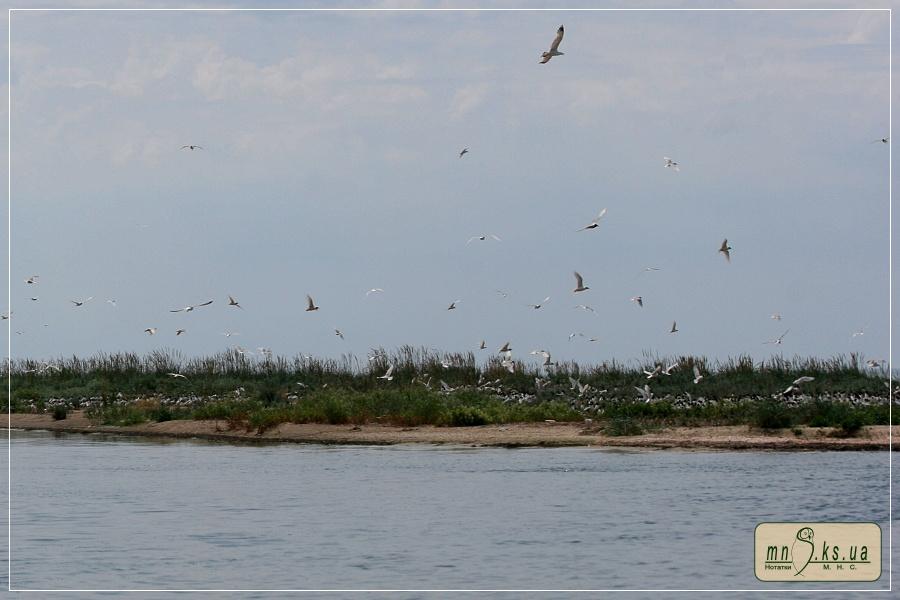 Гніздові колонії мартинів та крячків на острові Тендра