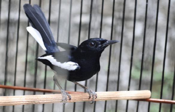 Cara Memelihara Burung Kacer Pemula