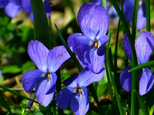 Violets are February's birth flower. But what other folklore and legends surround this shy little flower? Click here to find out.
