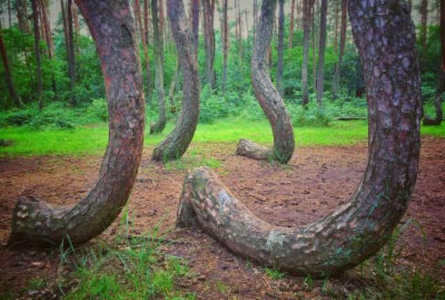 Кривой лес Польша