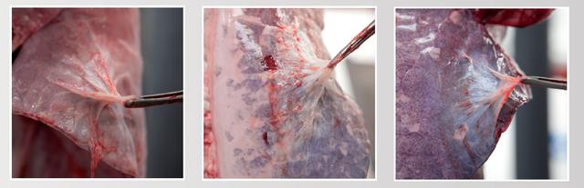 Varkenslongen met APP-achtige pleuritisletsels