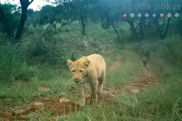 Pertama Kalinya Macan Tutul Stoberi Tertangkap Kamera di Alam Liar