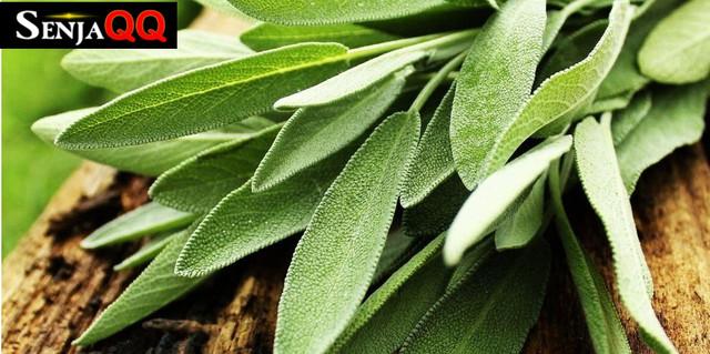 10 Manfaat Daun Sage untuk Kesehatan Tubuh, Apa Saja ?