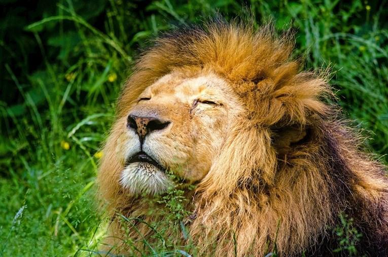 TRČE SAMO PRAVOLINIJSKI? Zanimljive činjenice o lavovima koje sigurno niste znali