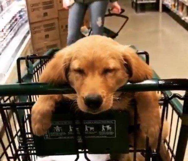 Собака спит в коляске