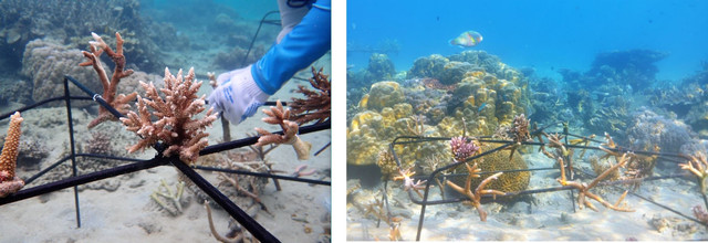 Photo 2. A coral nursery installed for Tēnaka's first client, the ethical jeweler Courbet, in Malaysia.