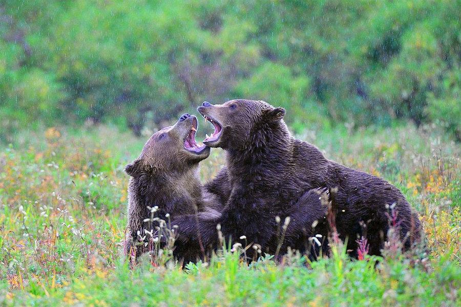 Невероятные фотографии медведей 11