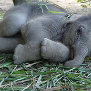 1lhui-baby-elephant-laying-down