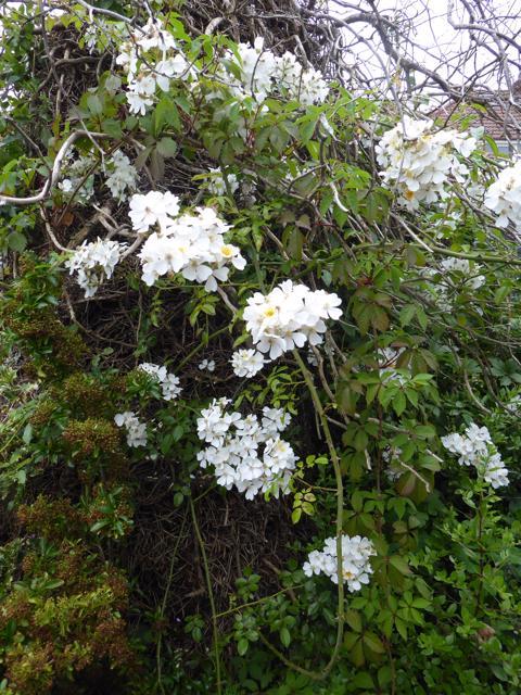 Back-garden-Kiftsgate-rose-01-07-19