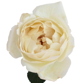Ivory Roses Meaning