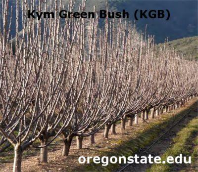 Kym Green Bush (KGB), poda para la formación de cerezo joven, fácil y económica