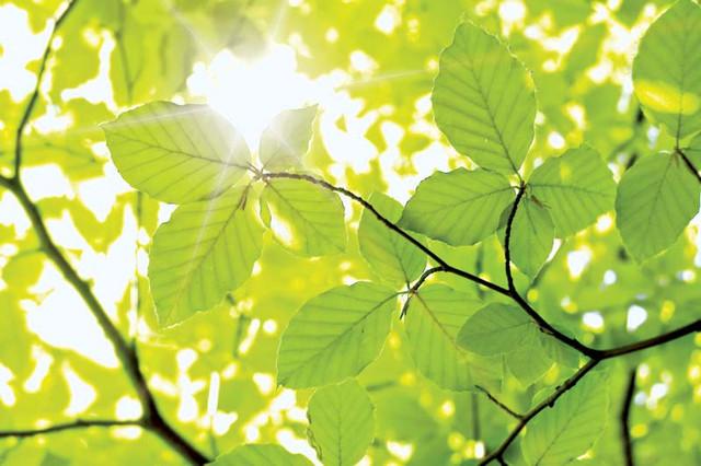 Sunshine-leaves-beech-tree