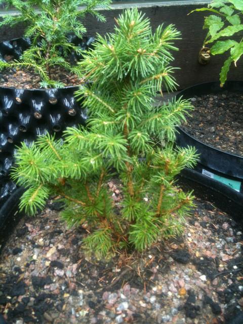 20150620-Alberta-spruce.jpg