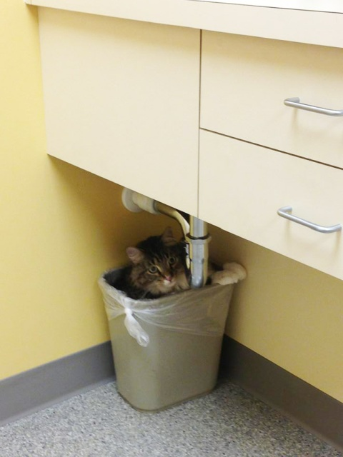 funny-cat-at-the-vet-17