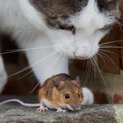 Katz-und-Maus-Spiel