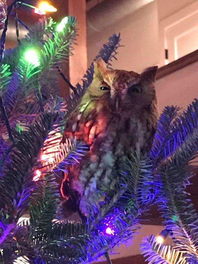 В США семья нашла живую сову, прячущуюся в купленной елке