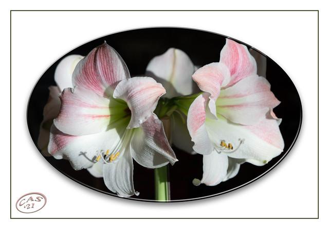 amaryllis-1500-6674.jpg