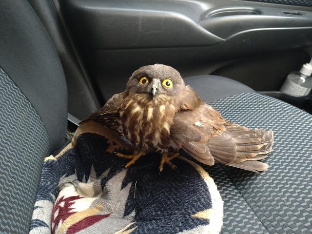 野生的貓頭鷹在車上 Image