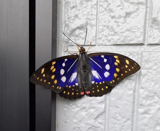棲息在推主家牆面上的美麗蝴蝶 Image