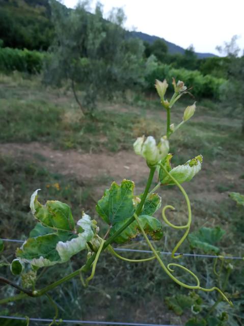 Calepitrimerus-vitis-2019-2