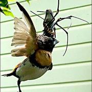 [Image: Orb-Spider-4.jpg]