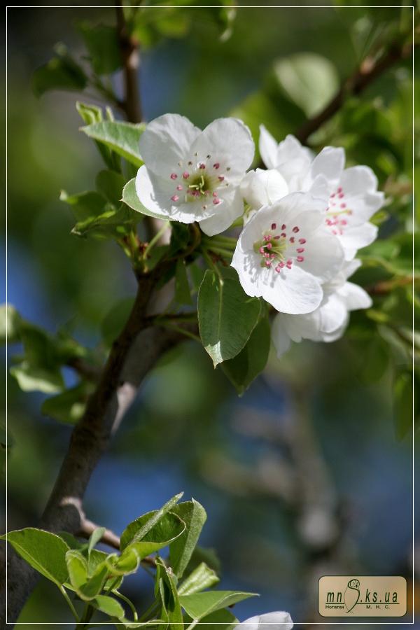 Цвітіння дикої груші (Івано-Рибальчанська ділянка Чорноморського біосферного заповідника)
