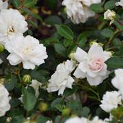 roze47
