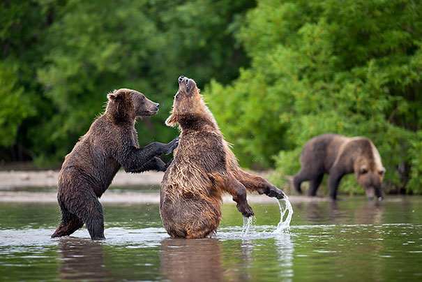 Медведи, такие медведи-12