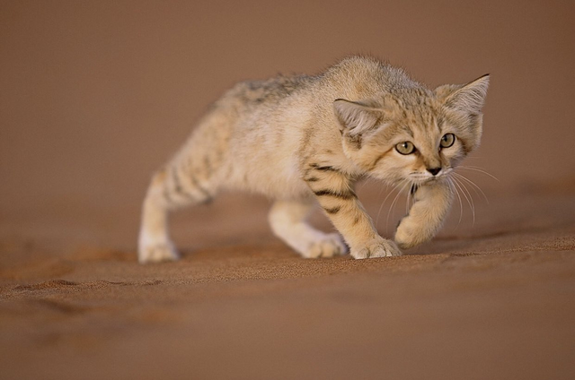 在沙漠中狩獵野生蛇的可愛小貓 Image