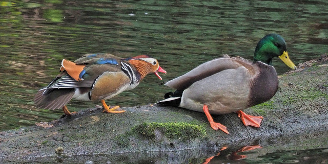 -Mandarin Duck M15s.jpg