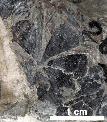 [Image: Sphenophyllum02-70.jpg]