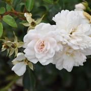 roze43