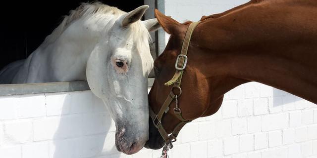 VoltigierenFredenbeckPferde