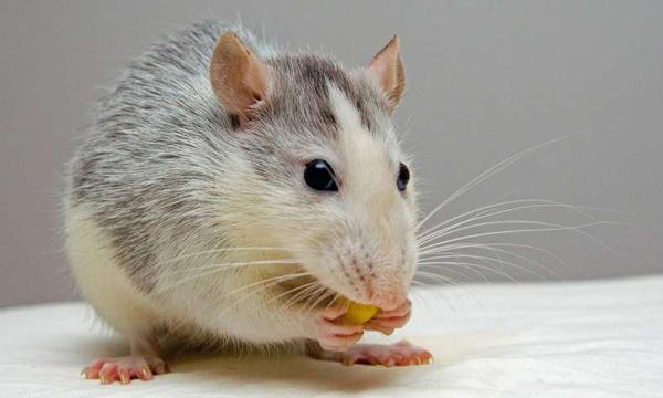تفسير رؤية الفئران في المنام 2020 دلالات ومعنى الفأر الكبير أو الصغير في الحلم 1.jpg