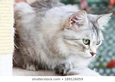 Flyclan: Cats of the Trees (Signup OPEN) Silver-cat-siberian-breed-female-260nw-189126059