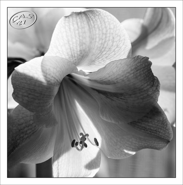amaryllis-CAS06676.jpg
