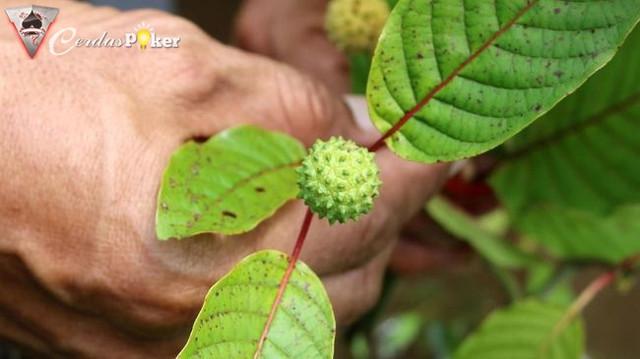 Fakta Daun Kratom Tanaman Herbal yang Dianggap Mirip Narkoba