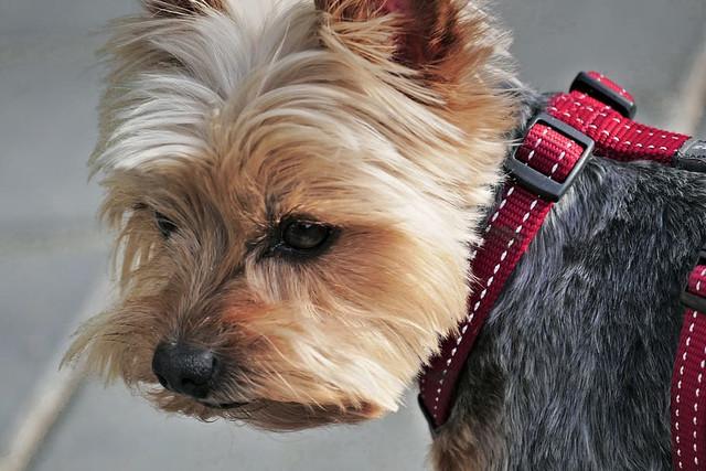 brown-dog-dog-pure-breed-dog-dog-room-friendly-nice
