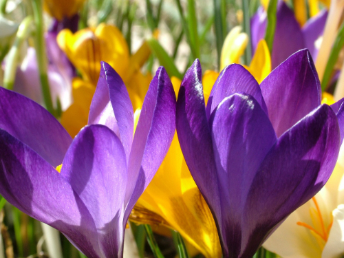 An image of both the purple and yellow varieties of crocus.
