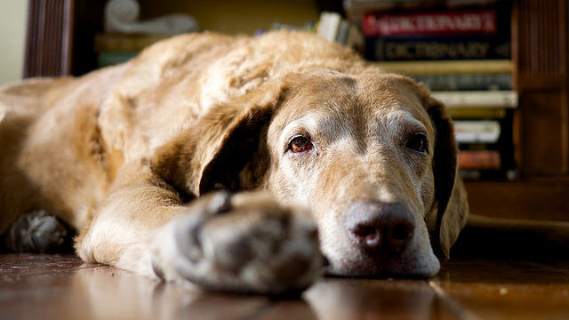 Alzheimer's in dogs