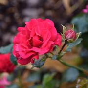 roze31