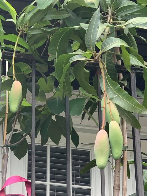 Japheth-mangoes4