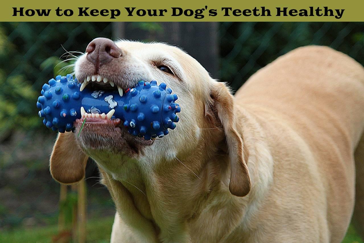 How to Keep Your Dog's Teeth Healthy?