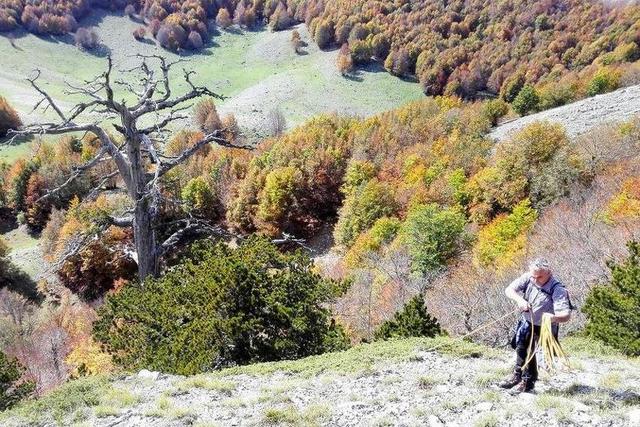 DREVNI BOR: Najstarije drvo u Evropi ima 1.230 godina