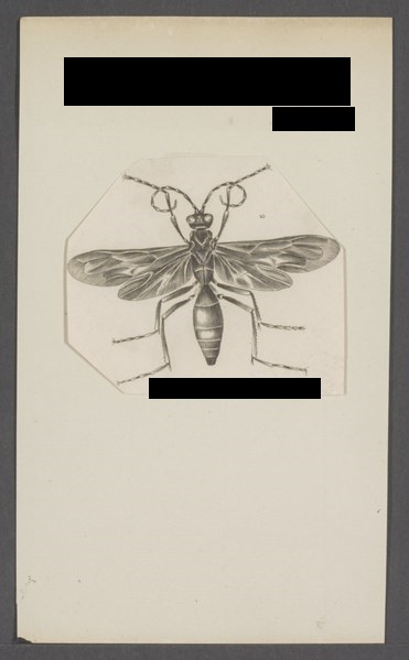 lossy-page1-371px-Pepsis-Print-Iconographia-Zoologica-Special-Collections-University-of-Amsterdam-UBAINV0274-043-06-0032-tif.jpg