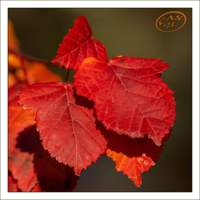 amur-maple-CAS08898.jpg