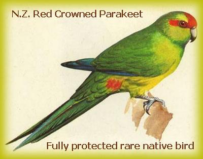 redcrownparakeet.png