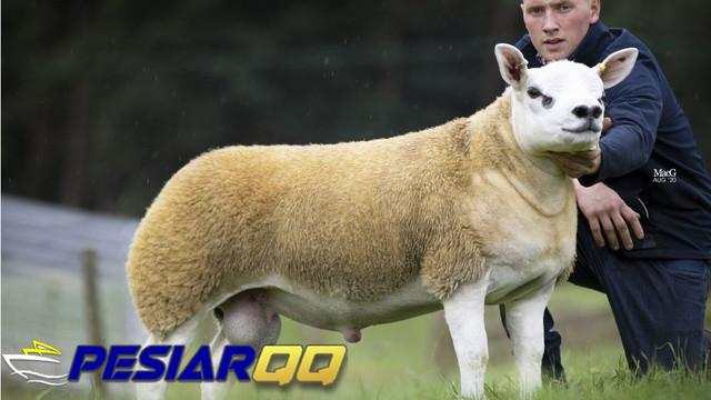 Domba Termahal di Dunia, Laku dalam Lelang Rp 7 Miliar