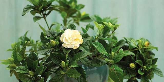 Ornamental Plants That Can Make Your Room Fresh and Fragrant