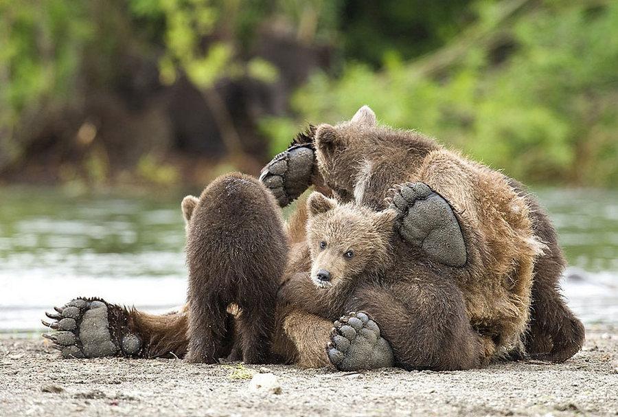 Невероятные фотографии медведей 6
